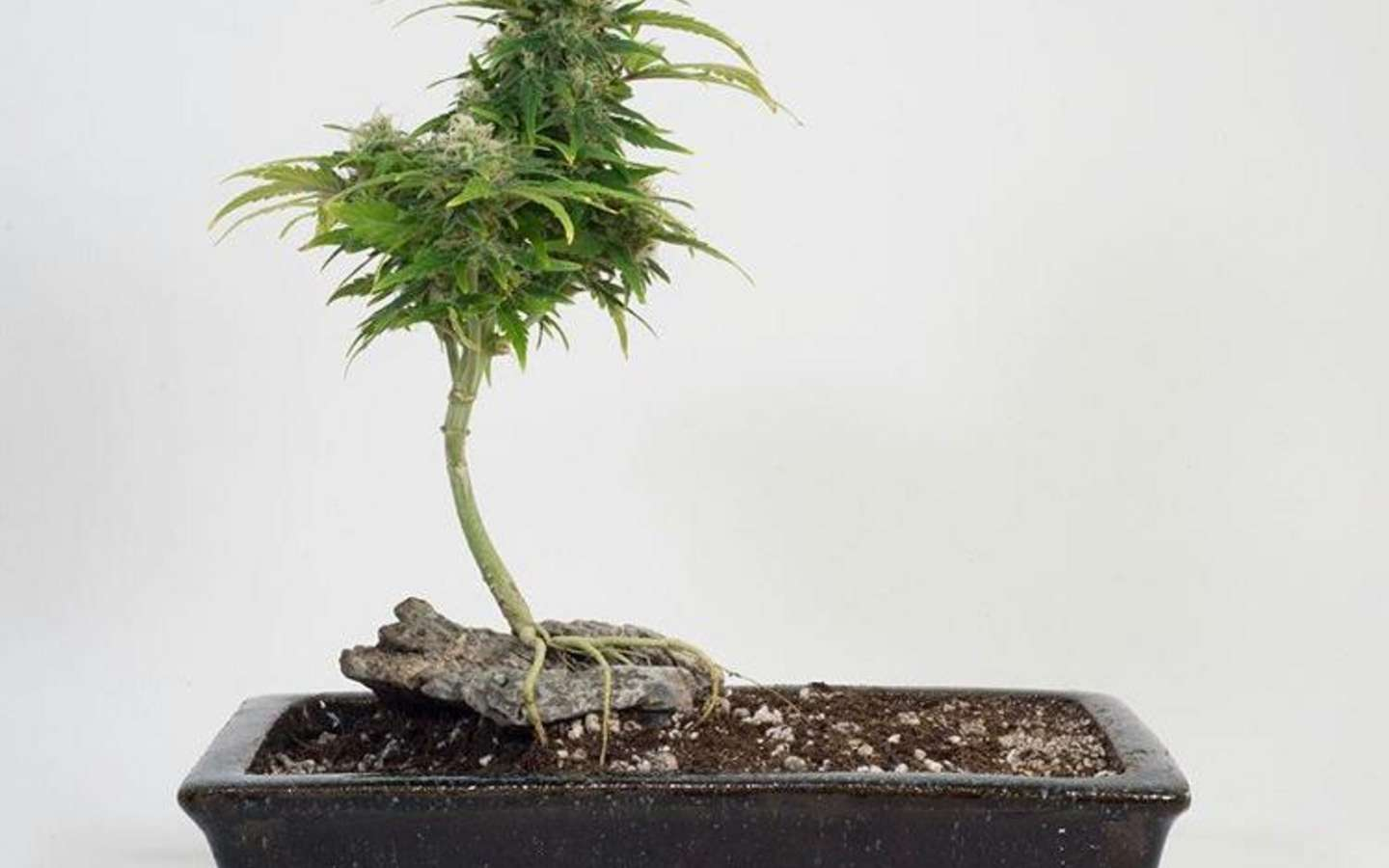 Peep This Cannabis Bonsai Tree Huffpost Canada Life