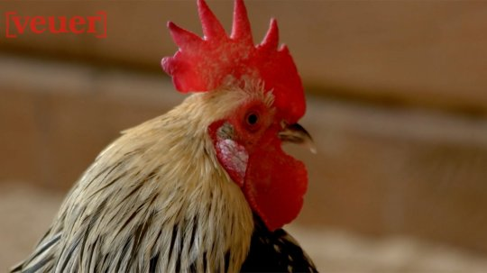 Woman Dies After Pet Rooster Pecks Her