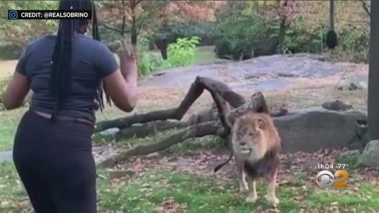 Woman climbed into Bronx Zoo exhibit to taunt lion