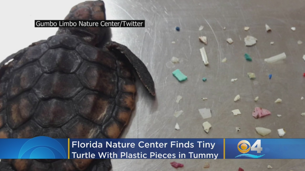 104 pieces of plastic found in stomach of baby sea turtle that died
