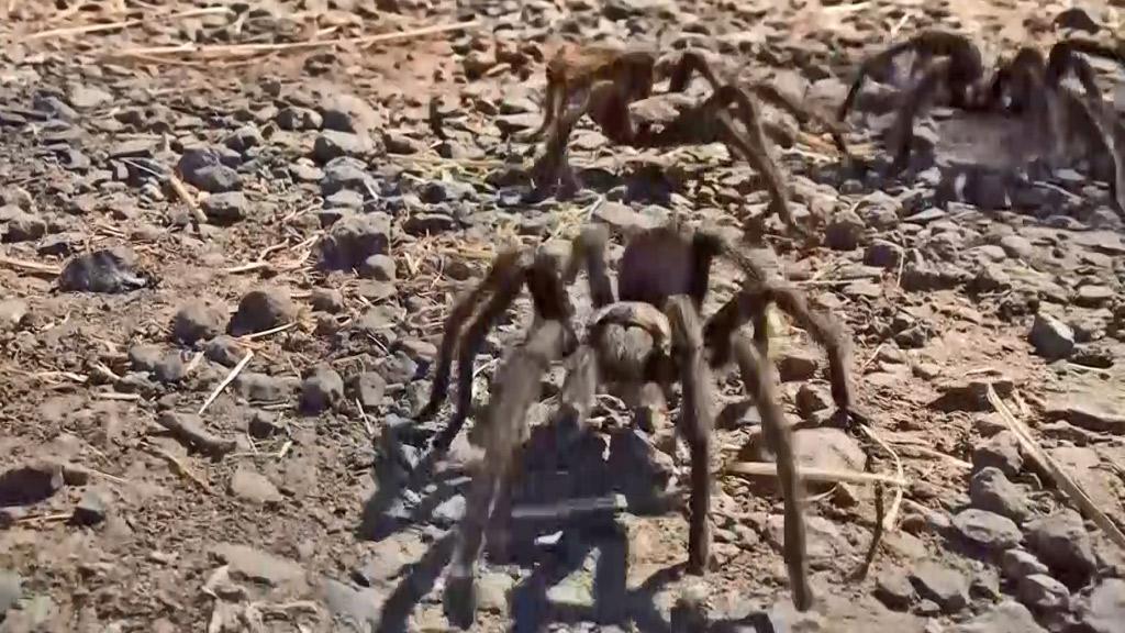 Thousands of tarantulas crawl over San Francisco in search of mates