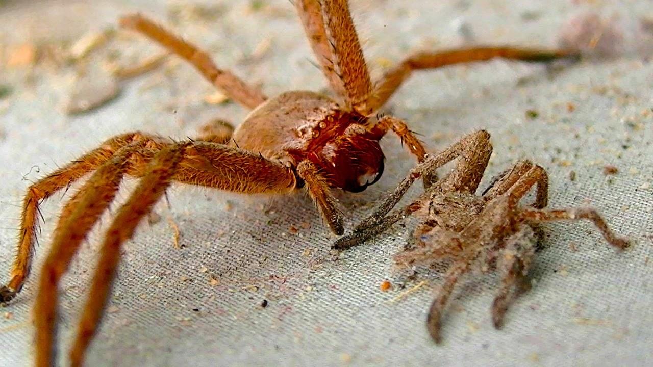 Les 5 araignées les plus dangereuses au monde