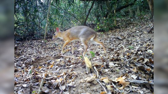Mouse-Deer Species Thought To Be Extinct Rediscovered After 112 Years