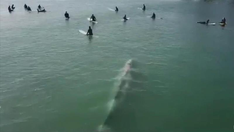Dramatic drone footage shows giant whale swim directly toward oblivious surfers