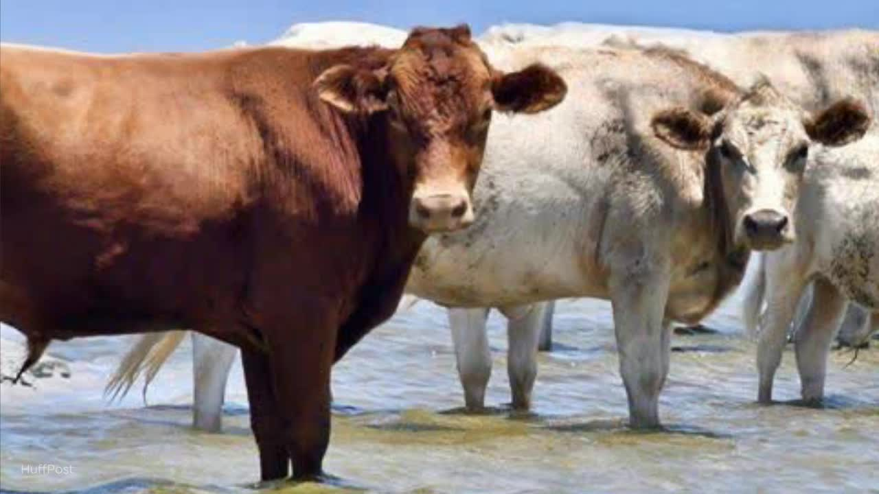 Cows Swept To Sea By Hurricane Dorian And Found On Island Are Finally Back Home