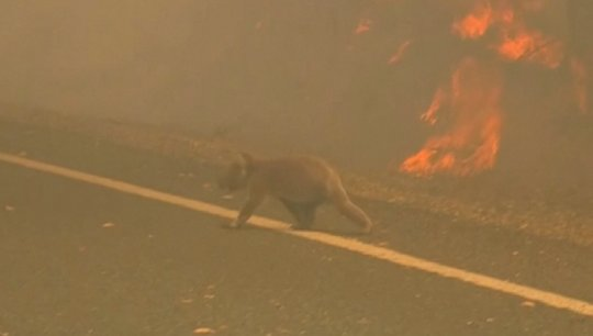 Woman Saves Scorched Koala From Bushfire With Shirt Off Her Own Back