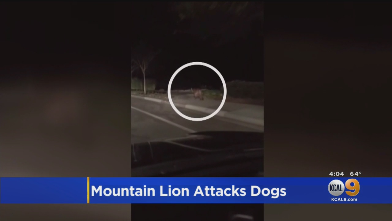 Woman Punches Mountain Lion In Attempt To Save Her Miniature Schnauzer