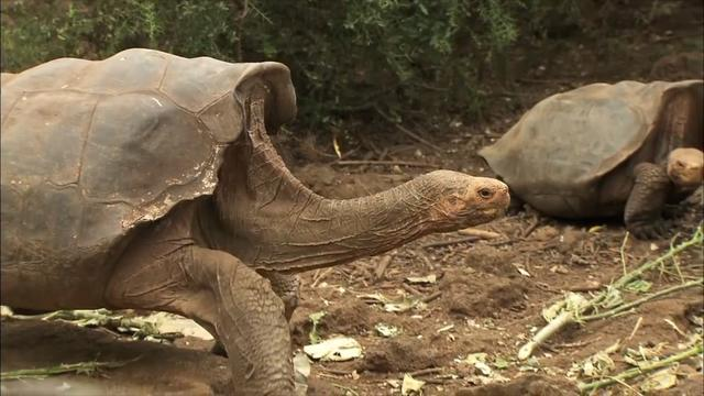 100-Year-Old Turtle Sex God Retires After Making 800 Species-Saving Babies