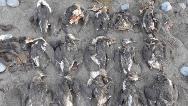 Warm Water Patch Called 'The Blob' Fueled Biggest Known Seabird Die-Off In History