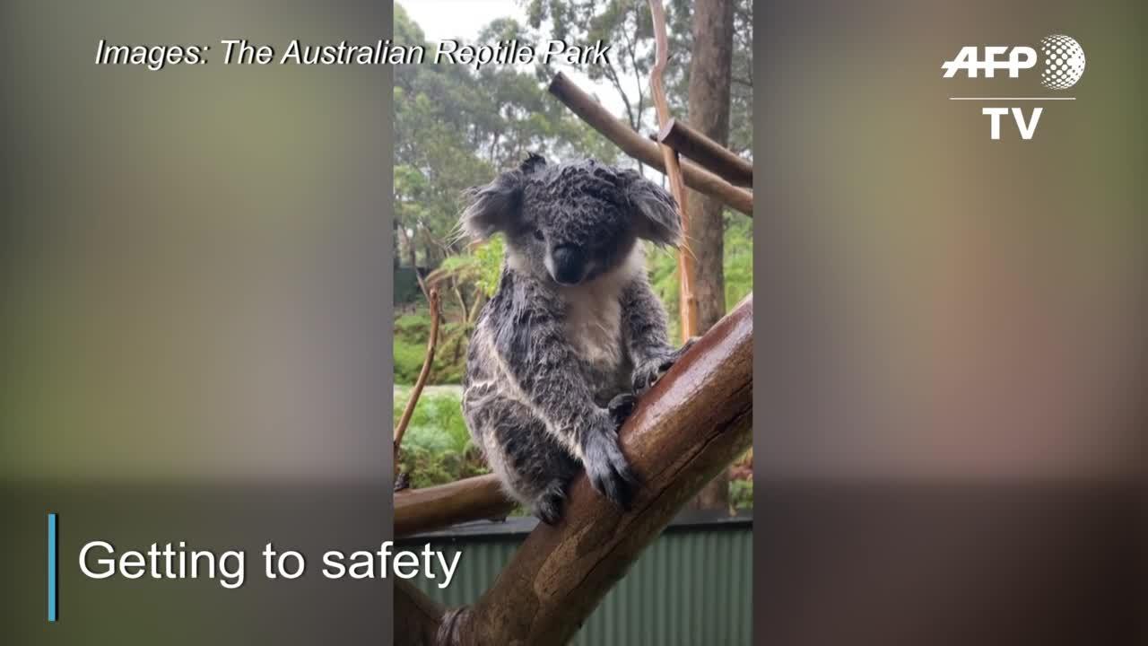 Australian Zoo Staff Save Koalas, Beat Back Alligators In Dramatic Flash Floods Video