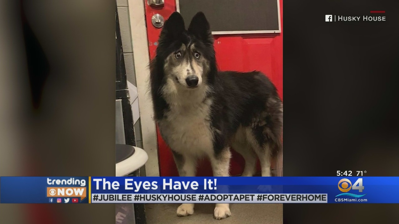 'Funny' looking Husky dumped by breeder finally finds forever home: 'People mostly laugh'