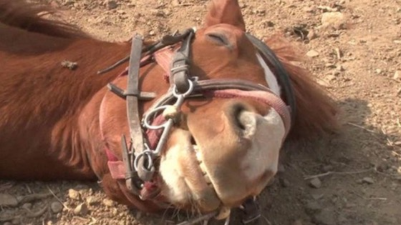 This Horse Plays Dead Every Time Someone Tries to Ride It (VIDEO)