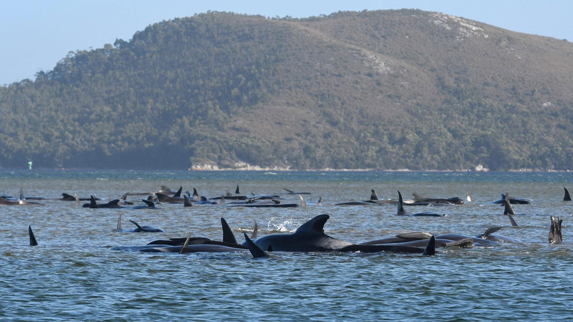 Hundreds of whales dead in Australia's worst mass stranding