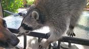 Raccoon Falls While Playing Around