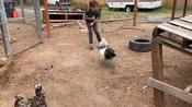 Kid Tries To Grab Rooster And Gets Attacked By Them