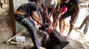 Aggressive Cow Rescued in India