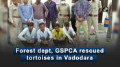 Forest dept, GSPCA rescued tortoises in Vadodara