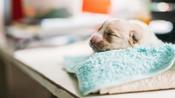 Skipper, une petite chienne née avec avec six pattes et deux queues aux États-Unis