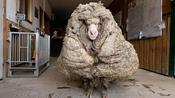 """Fünf Jahre nicht geschoren: Baa-rack trug 35 Kilo """"Wolle"""""""