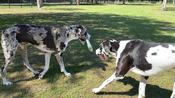 Great Dane Teaches New Dog Friends To Deliver Newspaper