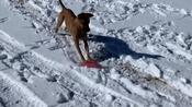 Dog Plays With Frisbee and Uses it to Slide Downhill in the Snow