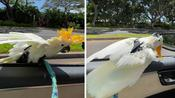 Koko the Cockatoo absolutely loves to car surf