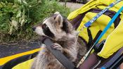 Pet raccoon goes for a ride in a baby stroller